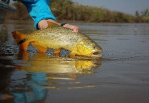 Fly-fishing Pic of Golden <strong>Dorado</strong> shared by Martin Tagliabue – Fly dreamers