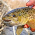 Little brown trout from yesterday on the Provo.