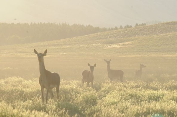 Ciervos llegando a Junin de los Andes