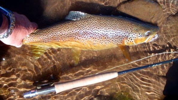 Trucha marron pescada en el rio Alumine