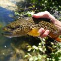 Love the way tiger trout look