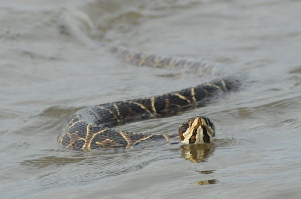 Yarará Snake, wile fishing for Golden Dorados
