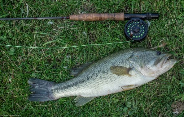 Big Bass on a Fly