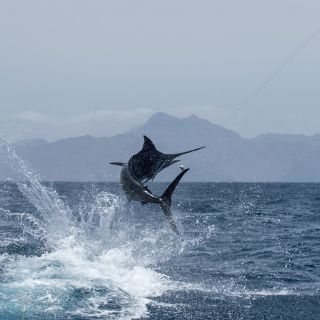 Cape Verde - One of the worlds top Marlin fishing destinations