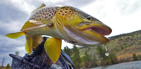 Browns from the float tube! Had fun photographing this one.