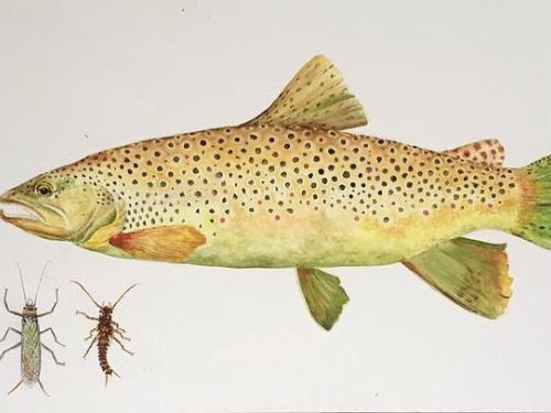 Fd: Where did your love of making watercolors of trout come from?Carol: I moved to Dillon, Montana, a fly fishing paradise, and a friend asked me for fish and landscape paintings for a beautiful little fishing cabin that overlooks Clark Canyon Reservoir. ...