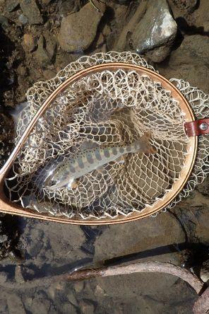 small Yamame fish