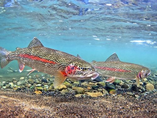Alaska Trophy Adventures Lodge. We still have 1 spot for June 25-July 2 at $3,330 for one of our best rainbow trout fishing weeks when sharing (a 3 for 2 special is looking for one rod the fill the deal).  Or you can get a regular space for a single angle...