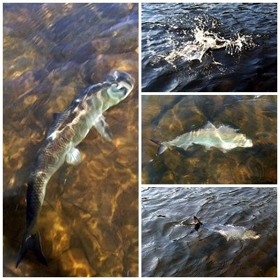 The American shad run continues a good clip. Steady action all day on these hard fighters.