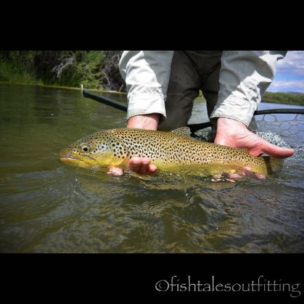 Some beautiful upper Beaverhead River gold! Learn how to tie the rig to fish this technical tailwater by following the link in our bio!  #flyfishing #beaverheadriver #browntrout #tailwater #coldclearwater #montanaflyfishing #winstonrods #fishtalesoutfitti...