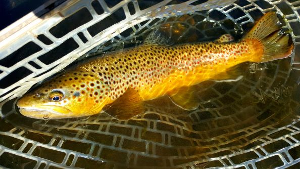 Burly browns getting all colored up for the spawn.