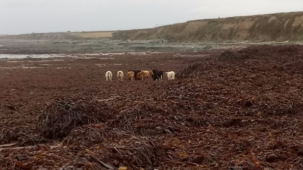 Cattle foraging kelp, post Ophelia.
