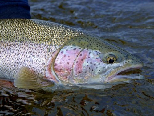 """RAINBOW TROUT FISHING ON THE ALAGNAK WILD RIVER AT ALASKA TROPHY ADVENTURES LODGE. Rainbow Trout fishing in Alaska enjoys an almost celebrity status. And those that seek them are passionate about catching them!  For those """"in the know"""" about what Al..."""
