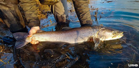 Hucho hucho (Danube salmon) aka king of the stream or fish of a 1000 casts