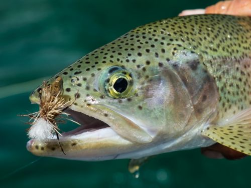 Rio Manso Lodge - Dragonfly Heaven. Rio Manso's surrounding waters are some of the best in Patagonia for outstanding dry fly fishing during the epic dragon fly hatch.  Every December, when several days of warm weather trigger the emergence of this tasty m...