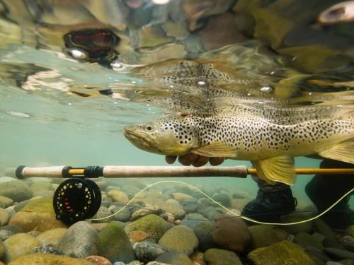 How it came to be. CATCH AND RELEASE: HOW IT CAME TO BEToday, it is hard to imagine a quality fishery where fly fishers do not return their catch to the water alive. This is the standard on the rivers in Patagonia. Releasing their fish is the practice...